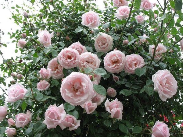 róża angielska new dawn