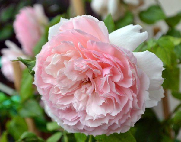 the wedgwood rose róża angiesla david austin