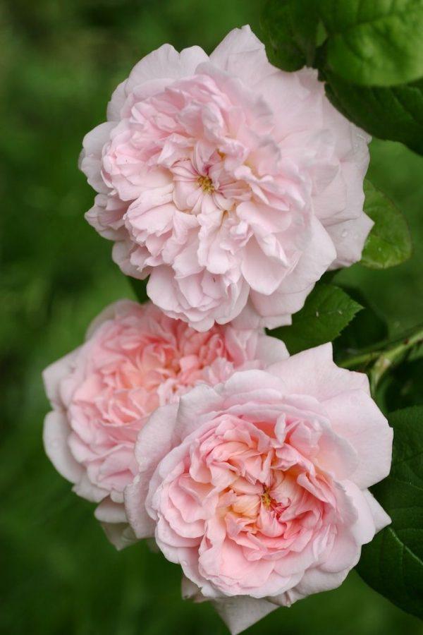 eglantyne róża angielska david austin