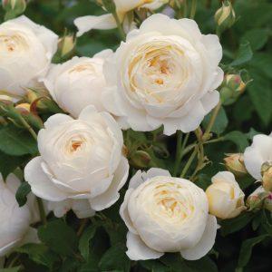 róża angielska clair austin