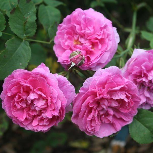 england's rose róża angielska david austin