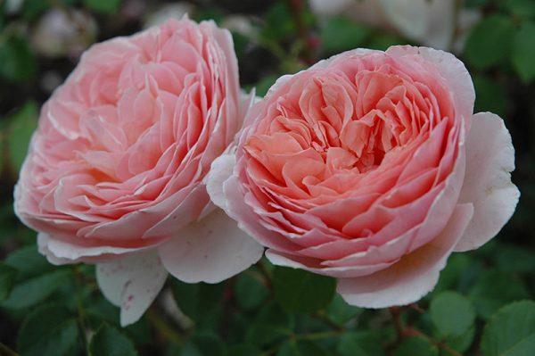 róża angielska abraham darby