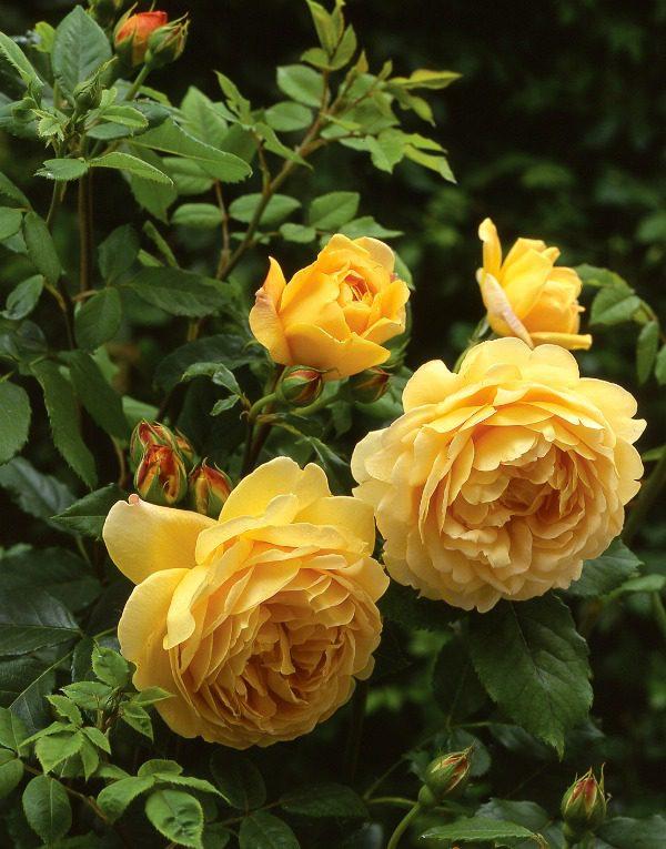 róża angielska golden celebration