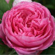 gertrude jekyll róża angielska david austin