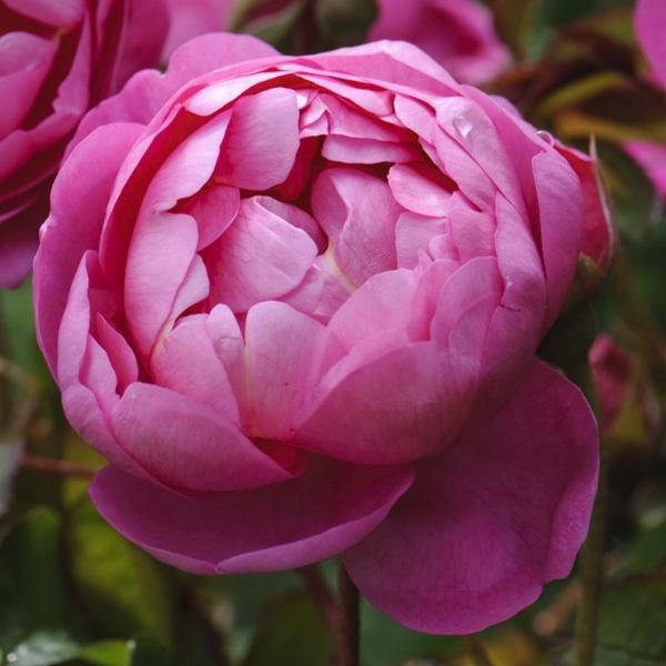 royal jubilee róża angiesla david austin