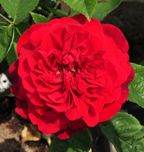 L.D.BRAITHWAITE róża angiesla david austin