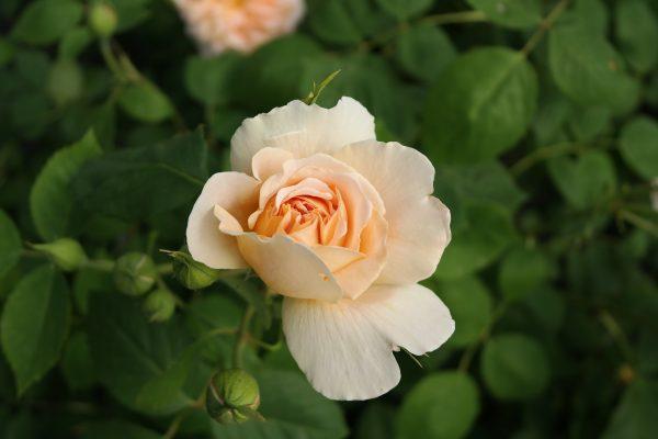 róża angielska tea clipper