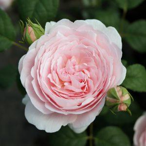 róża angielska queen of sweden