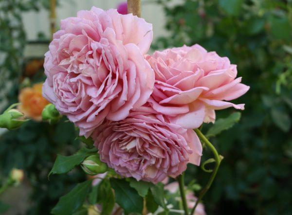 róża angielska jubilee celebration