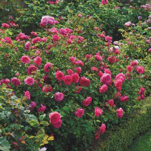 róża angielska sir john betjeman
