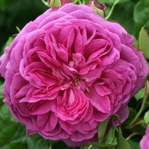 young lucidas róża angiesla david austin