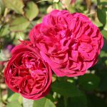 róża angielska durcey bussell