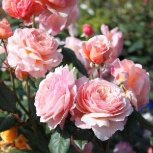 A SHROPSHIRE LAD róża angielska david austin