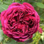 róża angielska falstaff