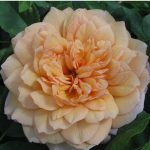 róża angielska grace