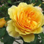 róża angielska graham thomas