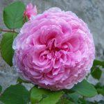 róża angielska james galway