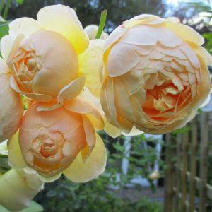 róża angielska jude the obscure