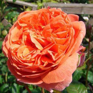 róża angielska lady emma hamilton