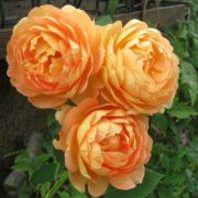 róża angielska lady of shalott