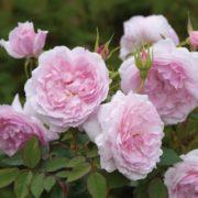 róża angielska lady salisbury