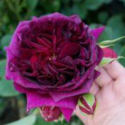 róża angielska munstead wood