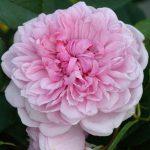 sister elizabeth róża angiesla david austin
