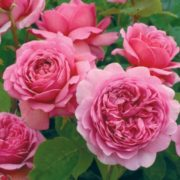 róża angielska strawberry hill