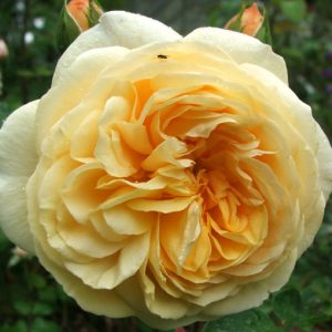róża angielska teasing georgia