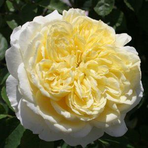róża angielska the pilgrim
