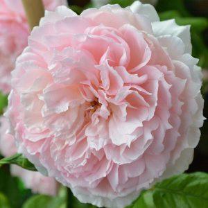 Róża angielska the wedgwood rose róża angiesla david austin