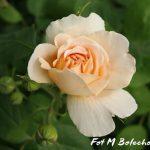 róża tea cliper