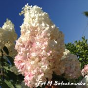 hortensja rehny vanilla fraise