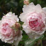 róża wedgwood rose