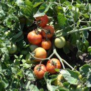 pomidor antares