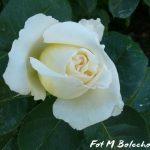 róża chopin