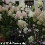 hortensja rheny vanilla fraise