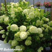 hortensja-limelight