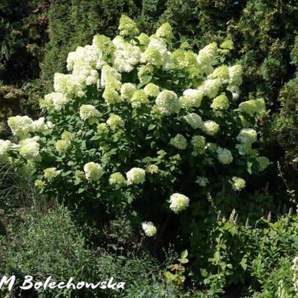 hortensja-limelight1
