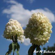 hortensja-sweet-summer