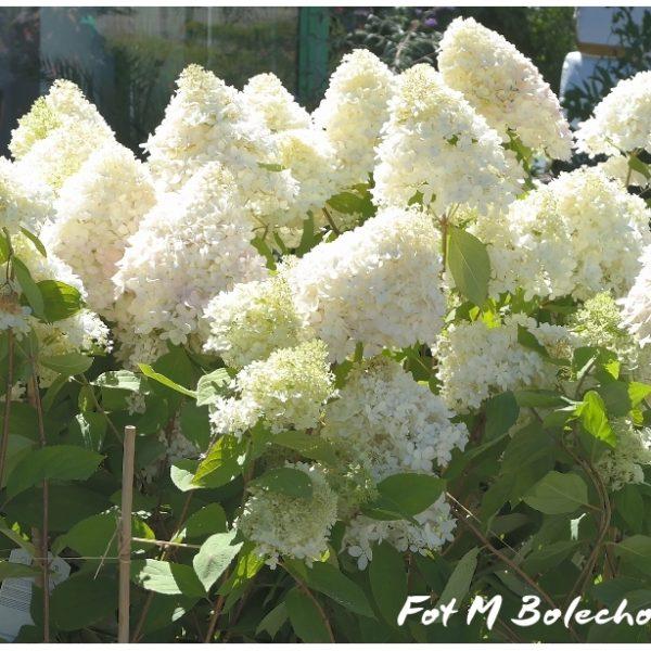 hortensja-sweet-summer1
