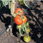 pomidor krakus1