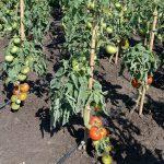pomidor krakus2
