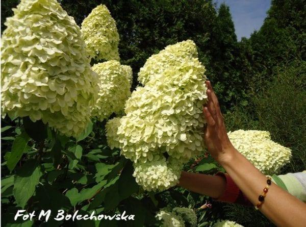 hortensja limelight