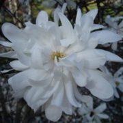 magnolia kikuzaki