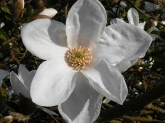 magnolia norman gould