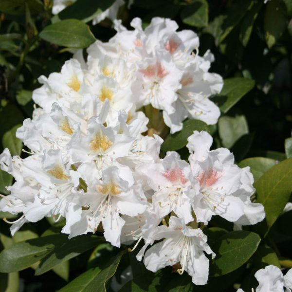 Rhododendron 'Cunningham's White' – Rhododendron Hybride 'Cunningham's White'