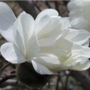 magnolia powder puff