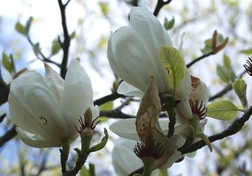 Magnolia_Alba SUPERBA