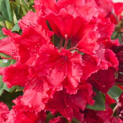 rhododendron red jack intensywnie czerwone du e kwiaty. Black Bedroom Furniture Sets. Home Design Ideas